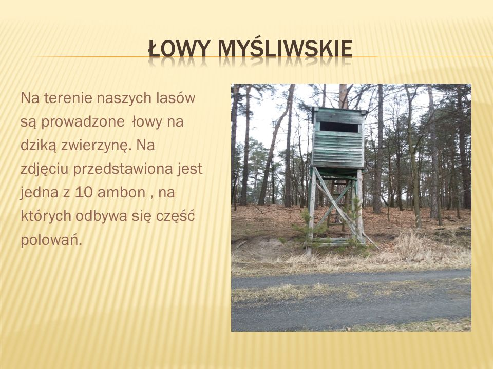 Na terenie naszych lasów są prowadzone łowy na dziką zwierzynę.