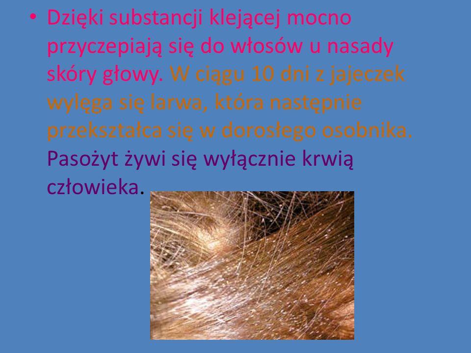 Dzięki substancji klejącej mocno przyczepiają się do włosów u nasady skóry głowy.