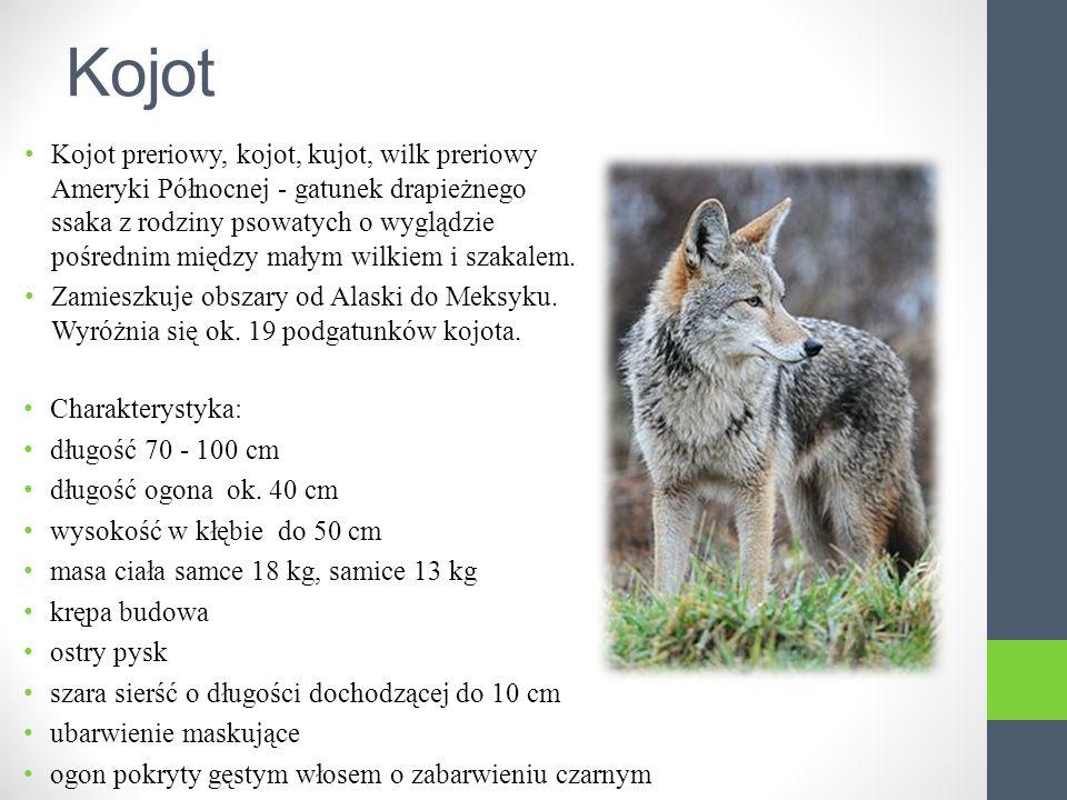 Kojot Kojot preriowy, kojot, kujot, wilk preriowy Ameryki Północnej - gatunek drapieżnego ssaka z rodziny psowatych o wyglądzie pośrednim między małym wilkiem i szakalem.