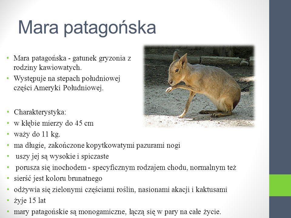 Mara patagońska Mara patagońska - gatunek gryzonia z rodziny kawiowatych.