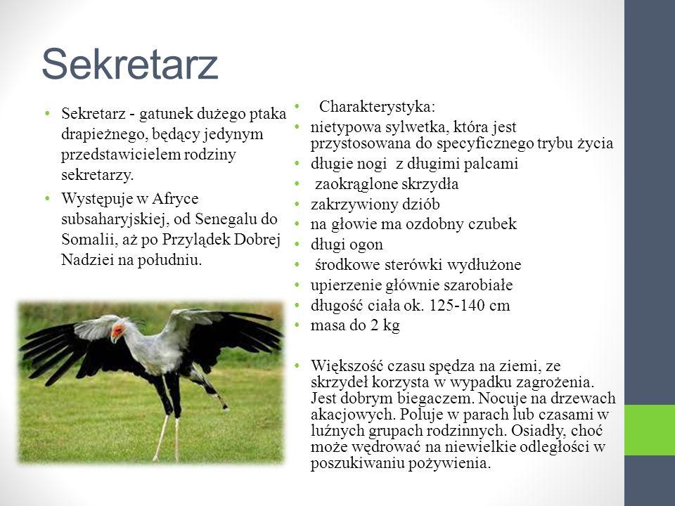 Sekretarz Sekretarz - gatunek dużego ptaka drapieżnego, będący jedynym przedstawicielem rodziny sekretarzy.