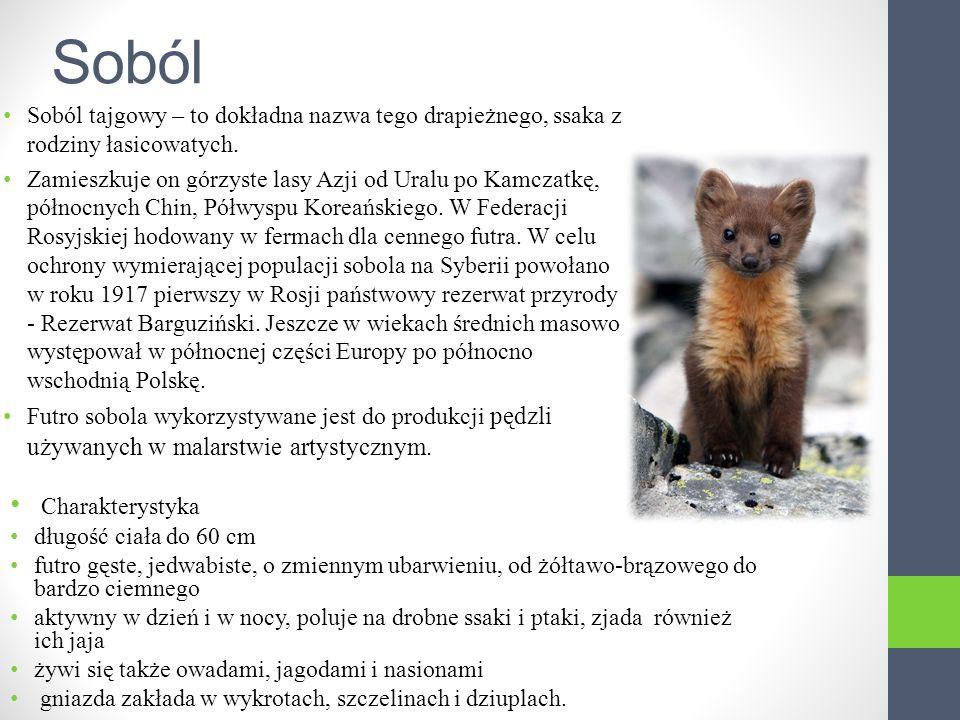 Soból Soból tajgowy – to dokładna nazwa tego drapieżnego, ssaka z rodziny łasicowatych.