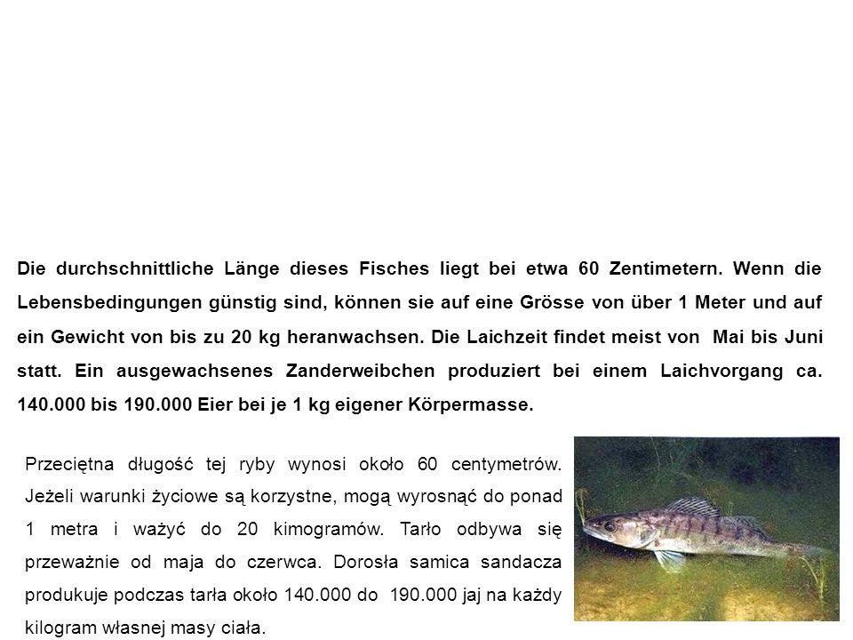 Zander sandacz Die durchschnittliche Länge dieses Fisches liegt bei etwa 60 Zentimetern.