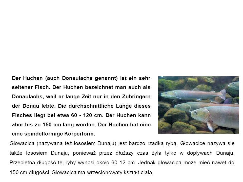 Huchen, Donaulachs głowacica Głowacica (nazywana też łososiem Dunaju) jest bardzo rzadką rybą.