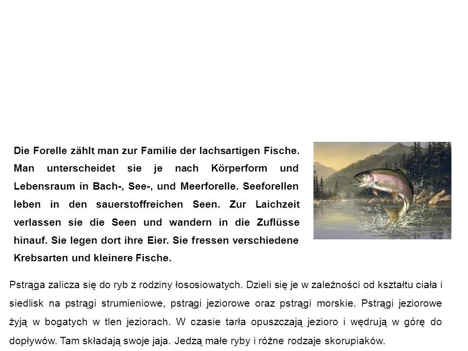 Forelle pstrąg Pstrąga zalicza się do ryb z rodziny łososiowatych.