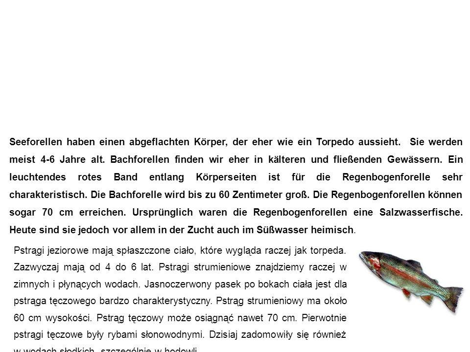 Forelle pstrąg Seeforellen haben einen abgeflachten Körper, der eher wie ein Torpedo aussieht.