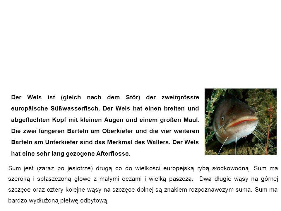 Wels (Waller, Catfish) sum Der Wels ist (gleich nach dem Stör) der zweitgrösste europäische Süßwasserfisch.