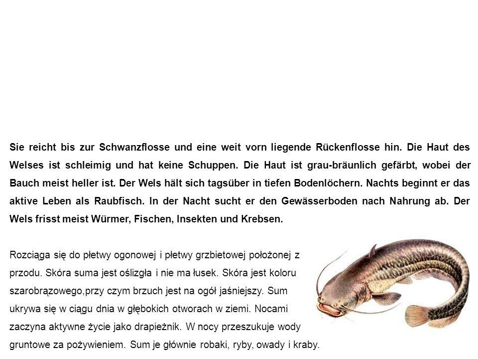 Wels (Waller, Catfish) sum Sie reicht bis zur Schwanzflosse und eine weit vorn liegende Rückenflosse hin.