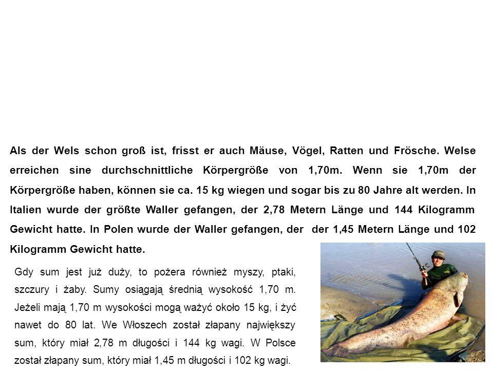 Wels (Waller, Catfish) sum Als der Wels schon groß ist, frisst er auch Mäuse, Vögel, Ratten und Frösche.