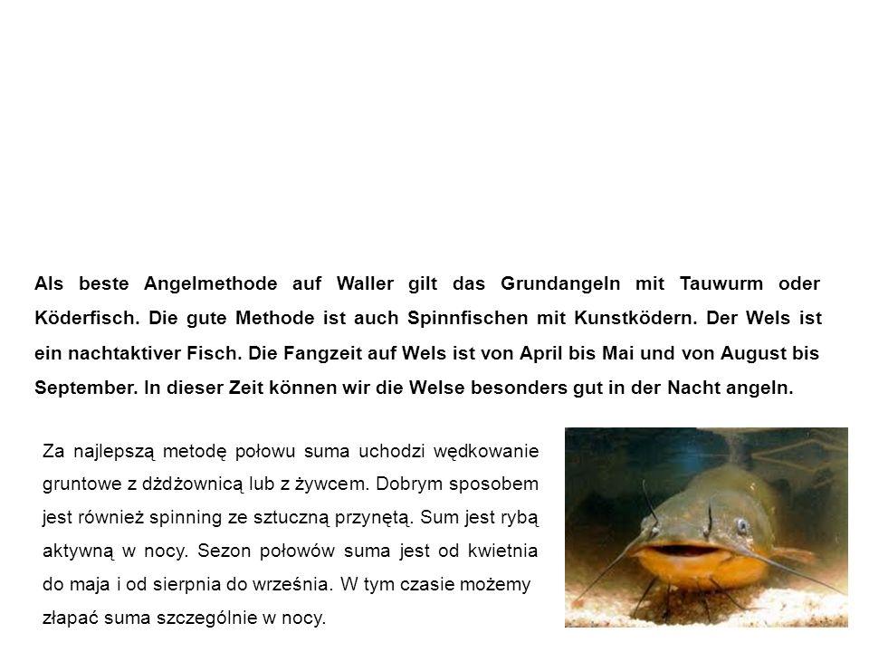 Wels (Waller, Catfish) sum Als beste Angelmethode auf Waller gilt das Grundangeln mit Tauwurm oder Köderfisch.