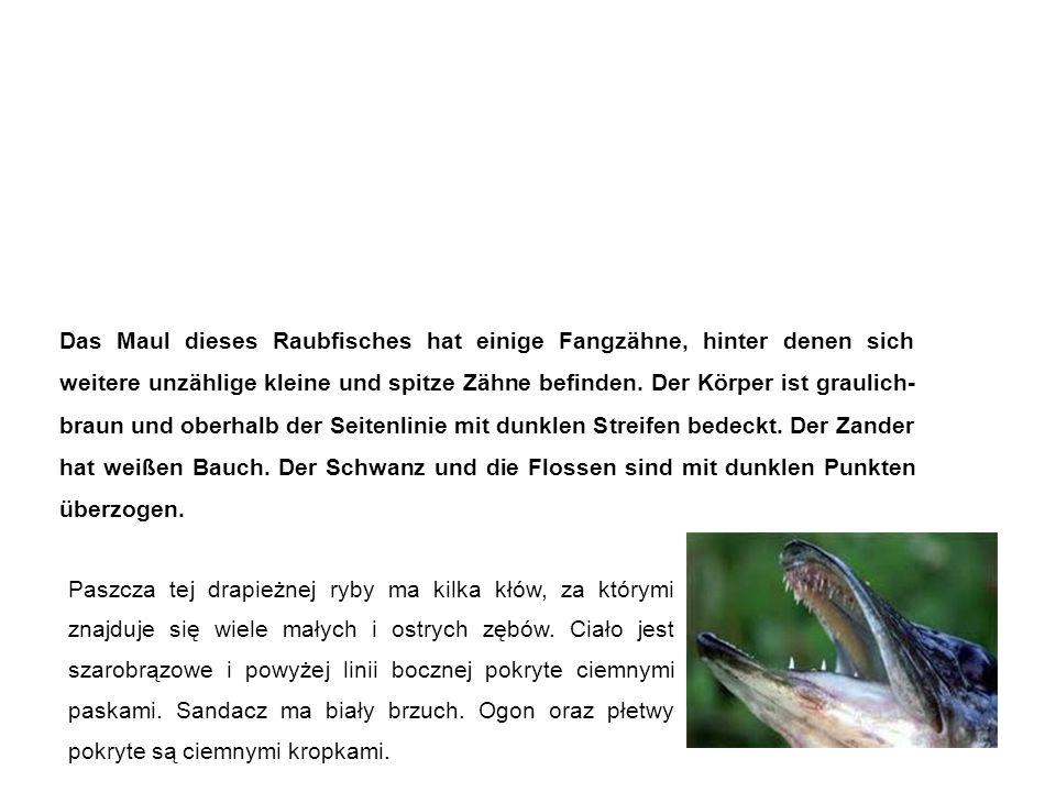 Zander sandacz Das Maul dieses Raubfisches hat einige Fangzähne, hinter denen sich weitere unzählige kleine und spitze Zähne befinden.