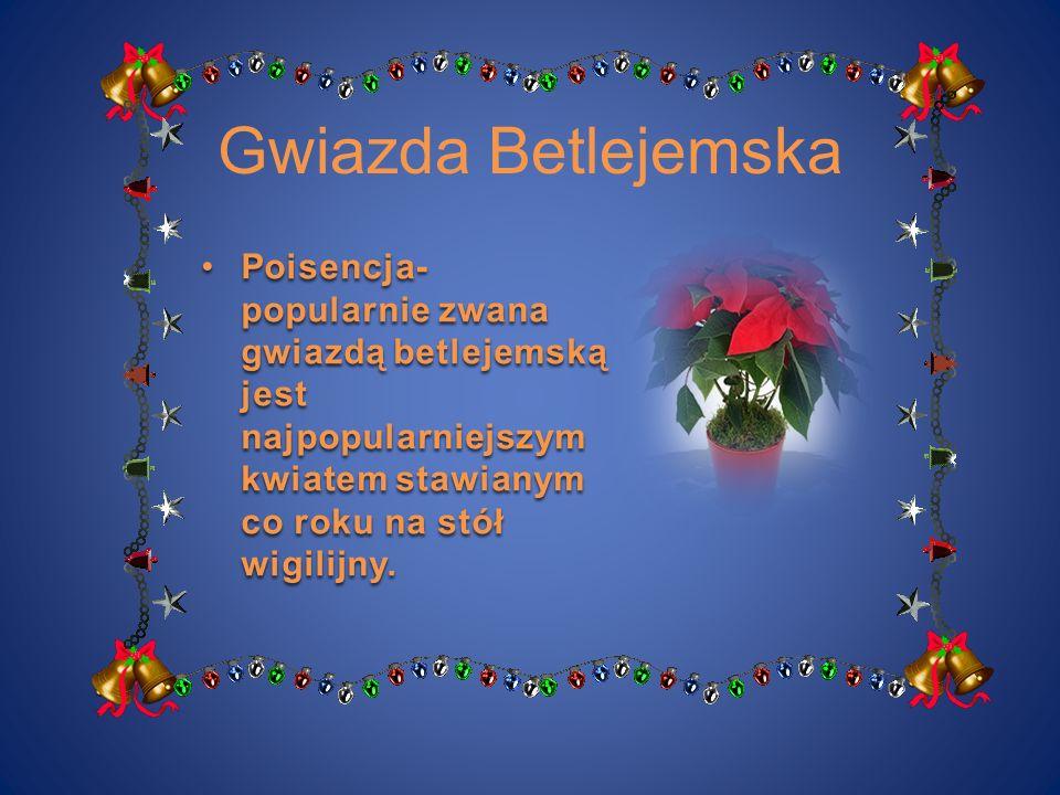 Gwiazda Betlejemska Poisencja- popularnie zwana gwiazdą betlejemską jest najpopularniejszym kwiatem stawianym co roku na stół wigilijny.Poisencja- pop