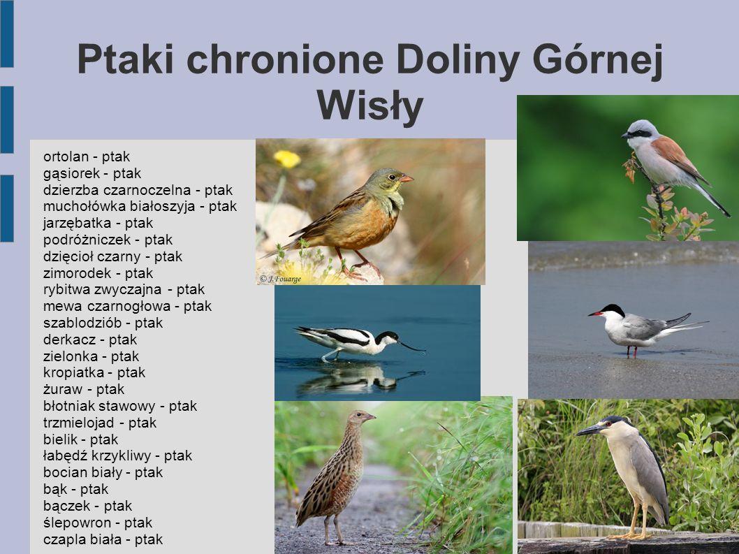 Ptaki chronione Doliny Górnej Wisły ortolan - ptak gąsiorek - ptak dzierzba czarnoczelna - ptak muchołówka białoszyja - ptak jarzębatka - ptak podróżn