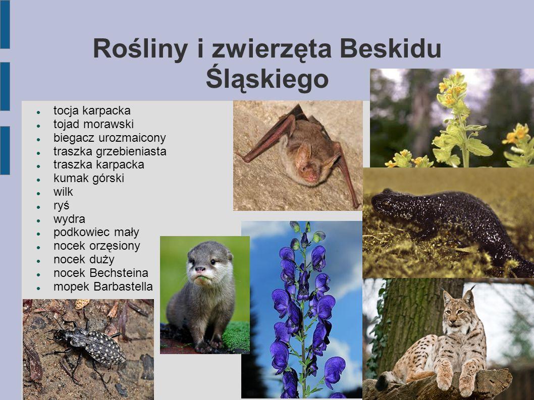 Rośliny i zwierzęta Beskidu Śląskiego tocja karpacka tojad morawski biegacz urozmaicony traszka grzebieniasta traszka karpacka kumak górski wilk ryś w