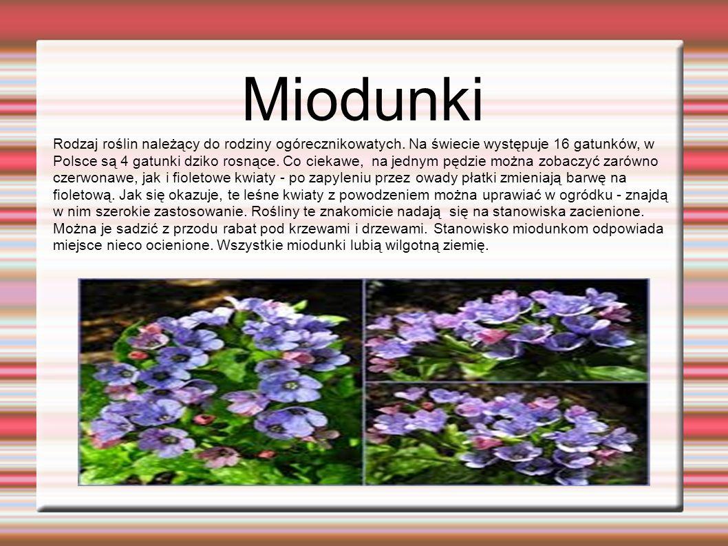 Miodunki. Rodzaj roślin należący do rodziny ogórecznikowatych.