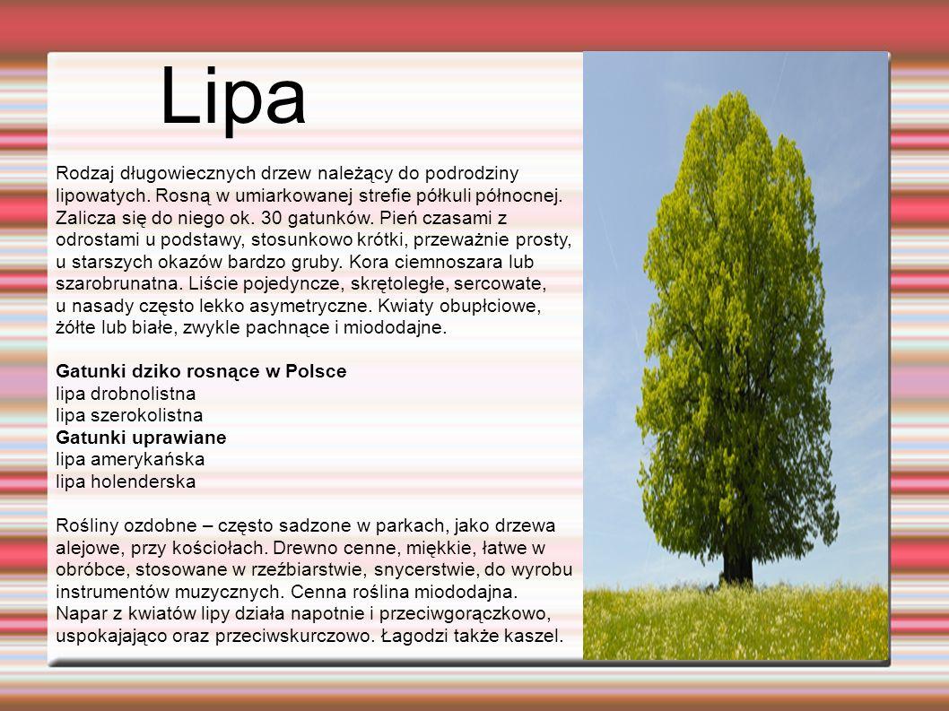 Lipa Rodzaj długowiecznych drzew należący do podrodziny lipowatych.