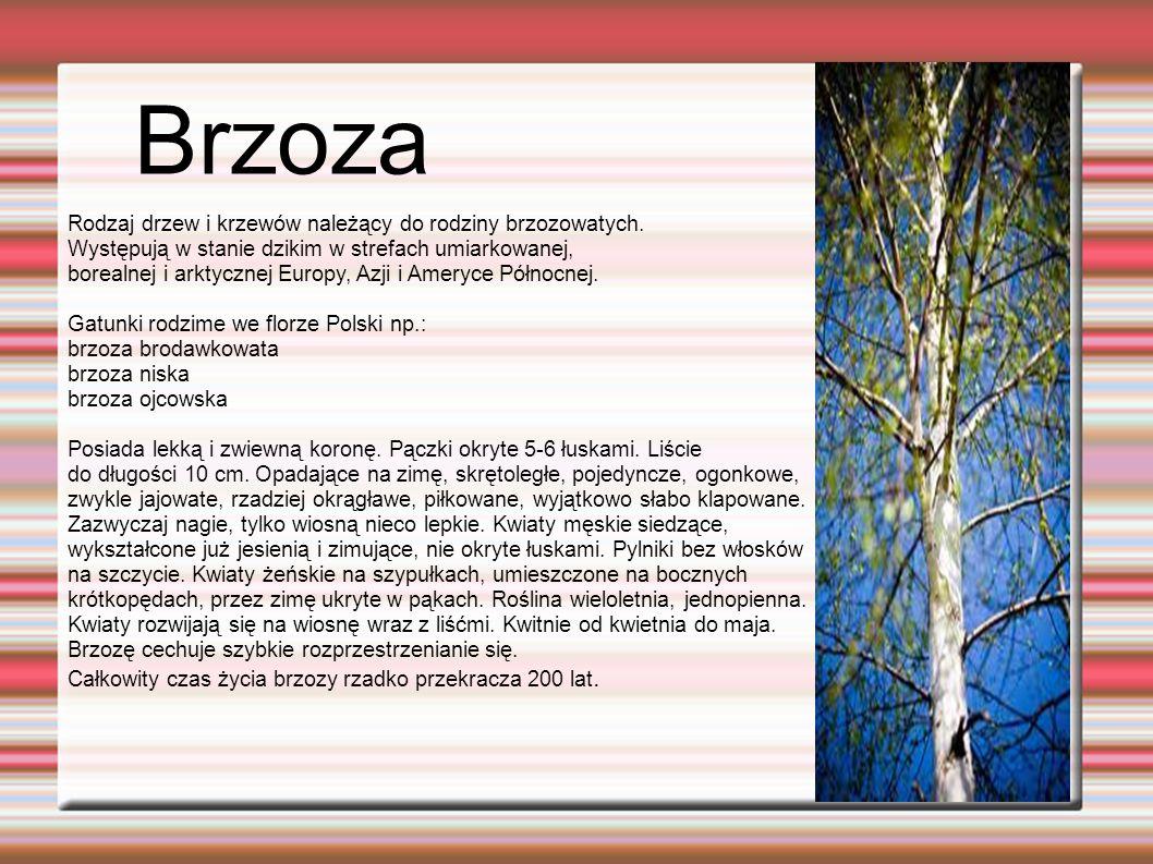 Brzoza Rodzaj drzew i krzewów należący do rodziny brzozowatych.