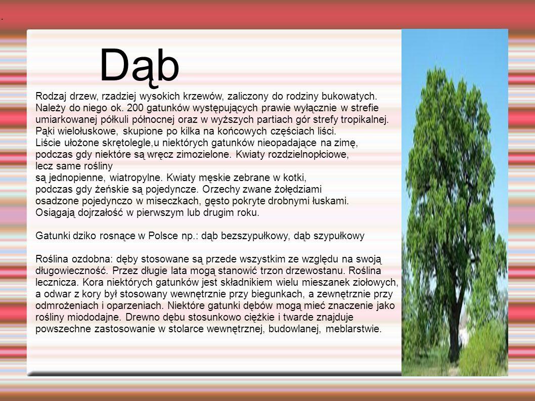 Dąb. Rodzaj drzew, rzadziej wysokich krzewów, zaliczony do rodziny bukowatych.