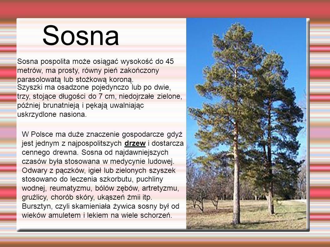Sosna Sosna pospolita może osiągać wysokość do 45 metrów, ma prosty, równy pień zakończony parasolowatą lub stożkową koroną.