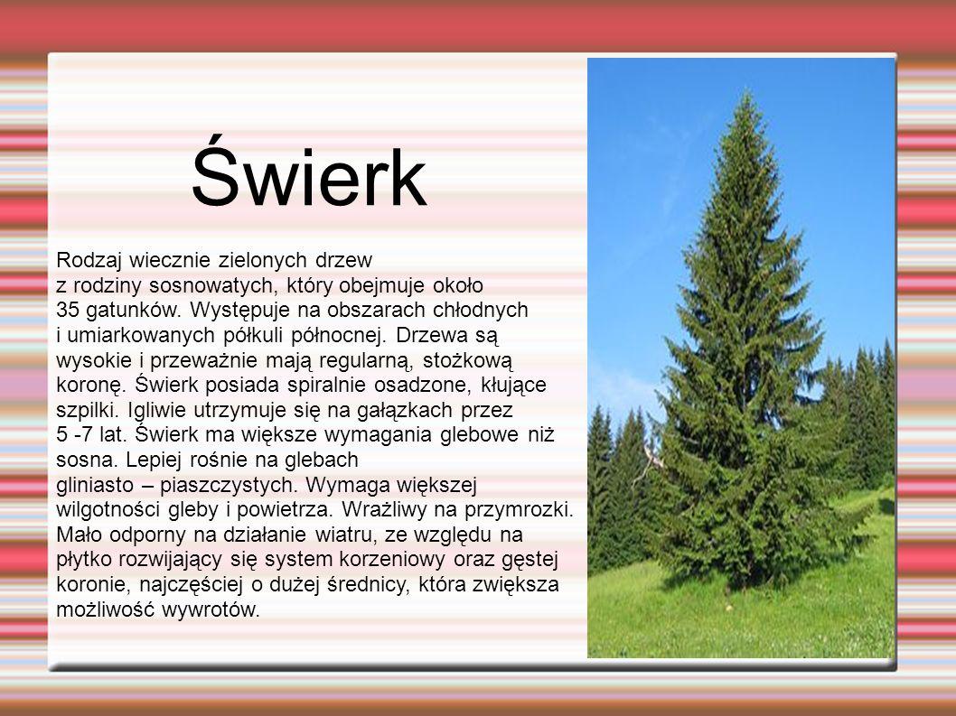 Świerk Rodzaj wiecznie zielonych drzew z rodziny sosnowatych, który obejmuje około 35 gatunków.