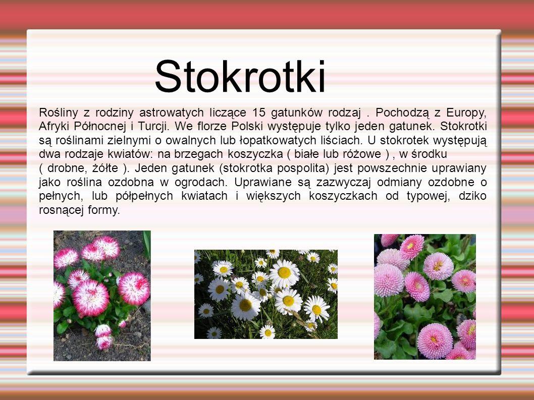 Stokrotki Rośliny z rodziny astrowatych liczące 15 gatunków rodzaj.