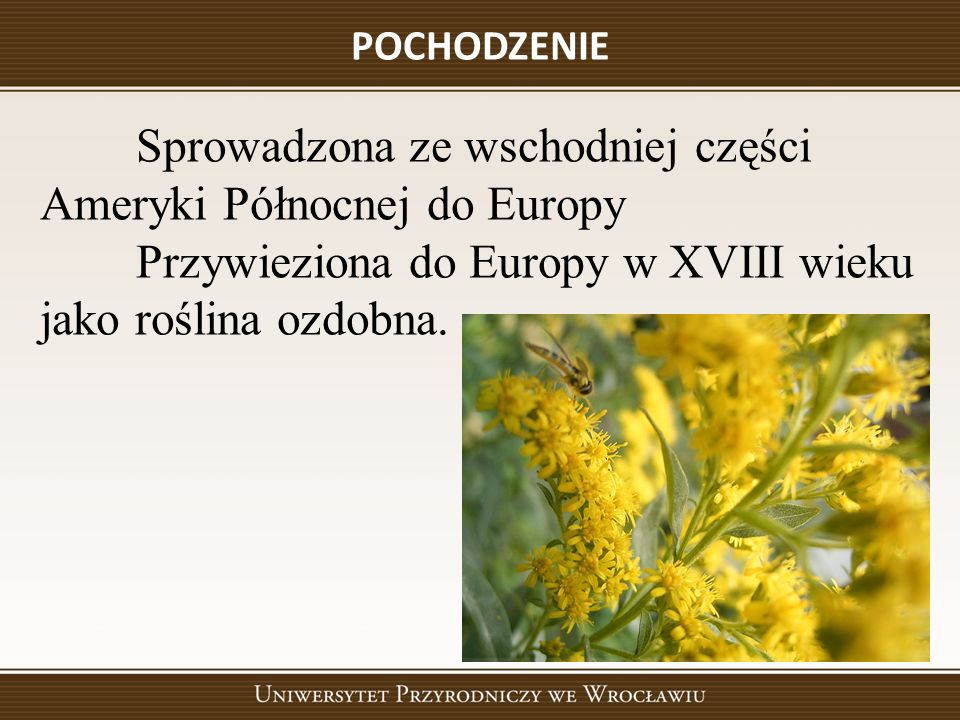 POCHODZENIE Sprowadzona ze wschodniej części Ameryki Północnej do Europy Przywieziona do Europy w XVIII wieku jako roślina ozdobna.