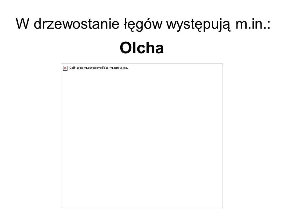 W drzewostanie łęgów występują m.in.: Olcha