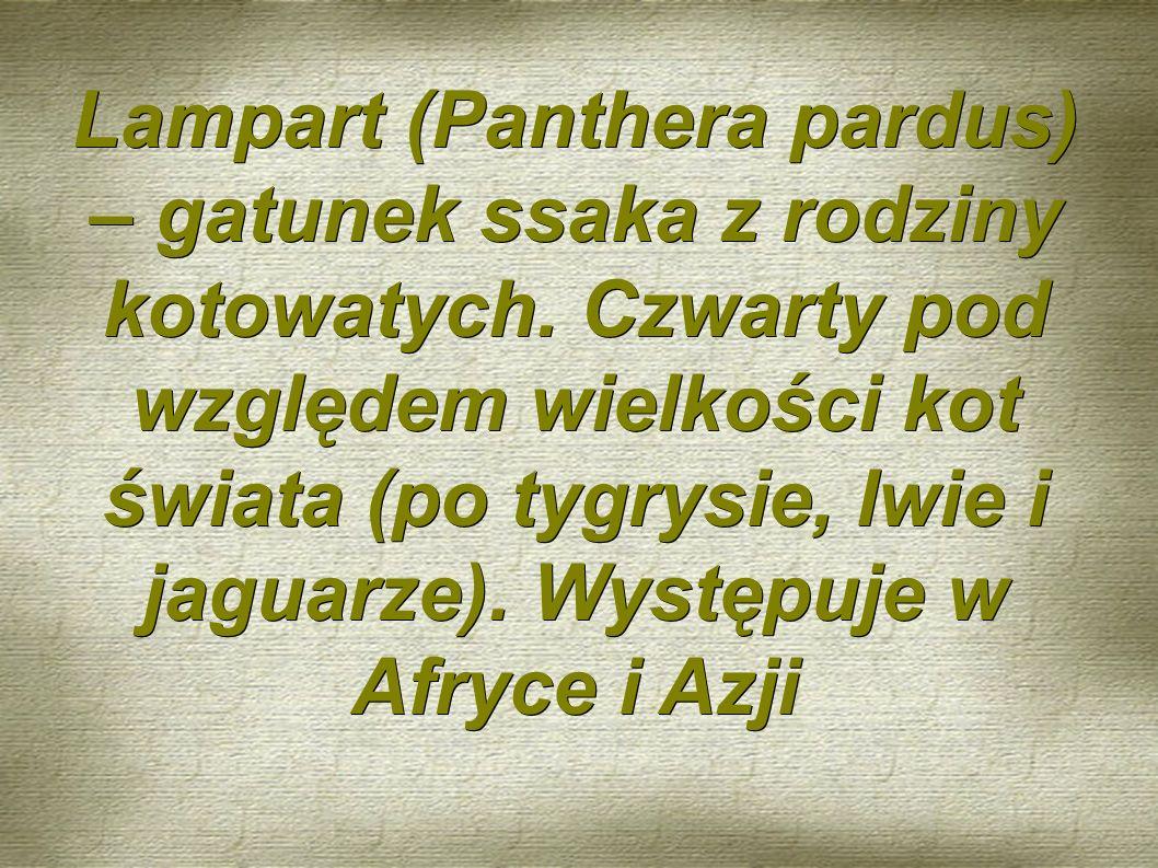 Lampart (Panthera pardus) – gatunek ssaka z rodziny kotowatych.