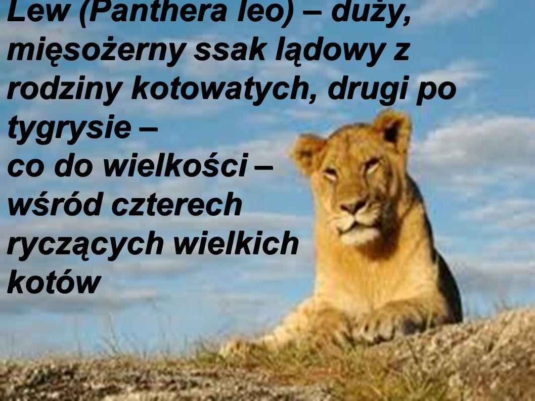 Lew (Panthera leo) – duży, mięsożerny ssak lądowy z rodziny kotowatych, drugi po tygrysie – co do wielkości – wśród czterech ryczących wielkich kotów