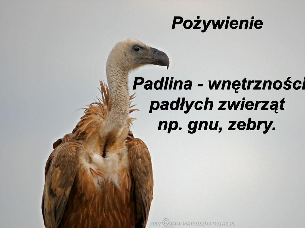 Pożywienie Padlina - wnętrzności padłych zwierząt np. gnu, zebry.