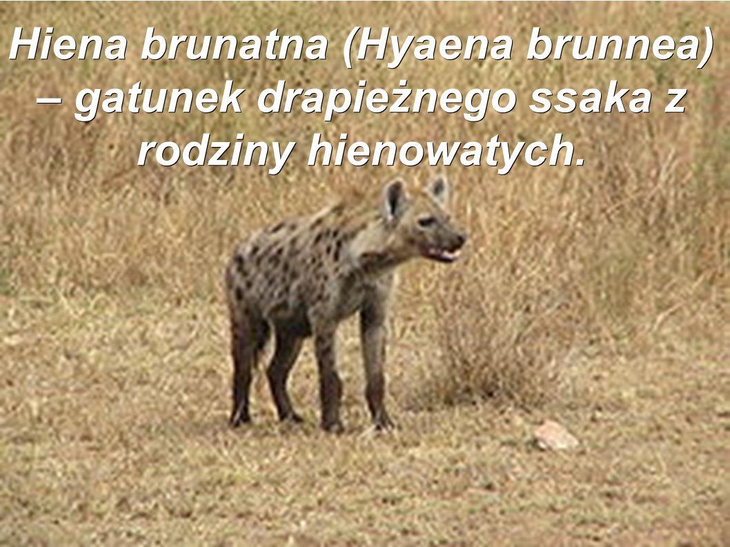 Hiena brunatna (Hyaena brunnea) – gatunek drapieżnego ssaka z rodziny hienowatych.