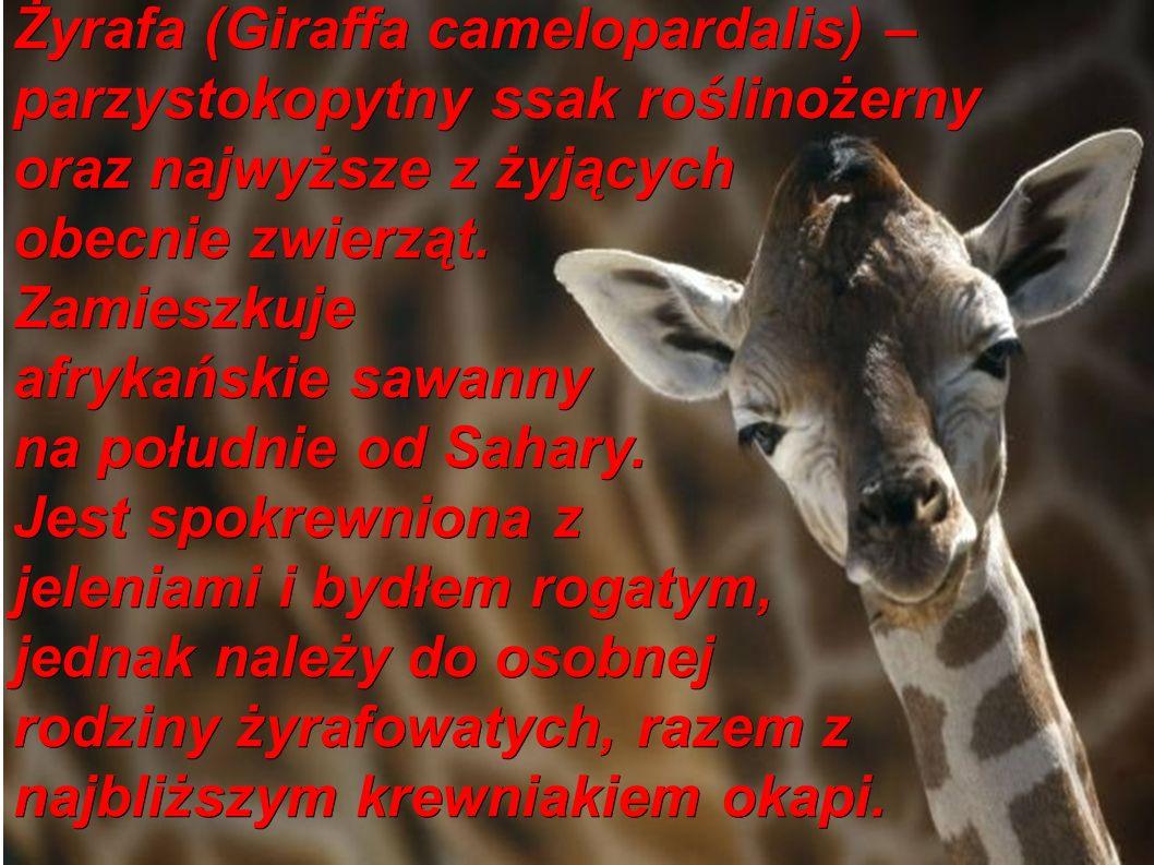 Żyrafa (Giraffa camelopardalis) – parzystokopytny ssak roślinożerny oraz najwyższe z żyjących obecnie zwierząt.