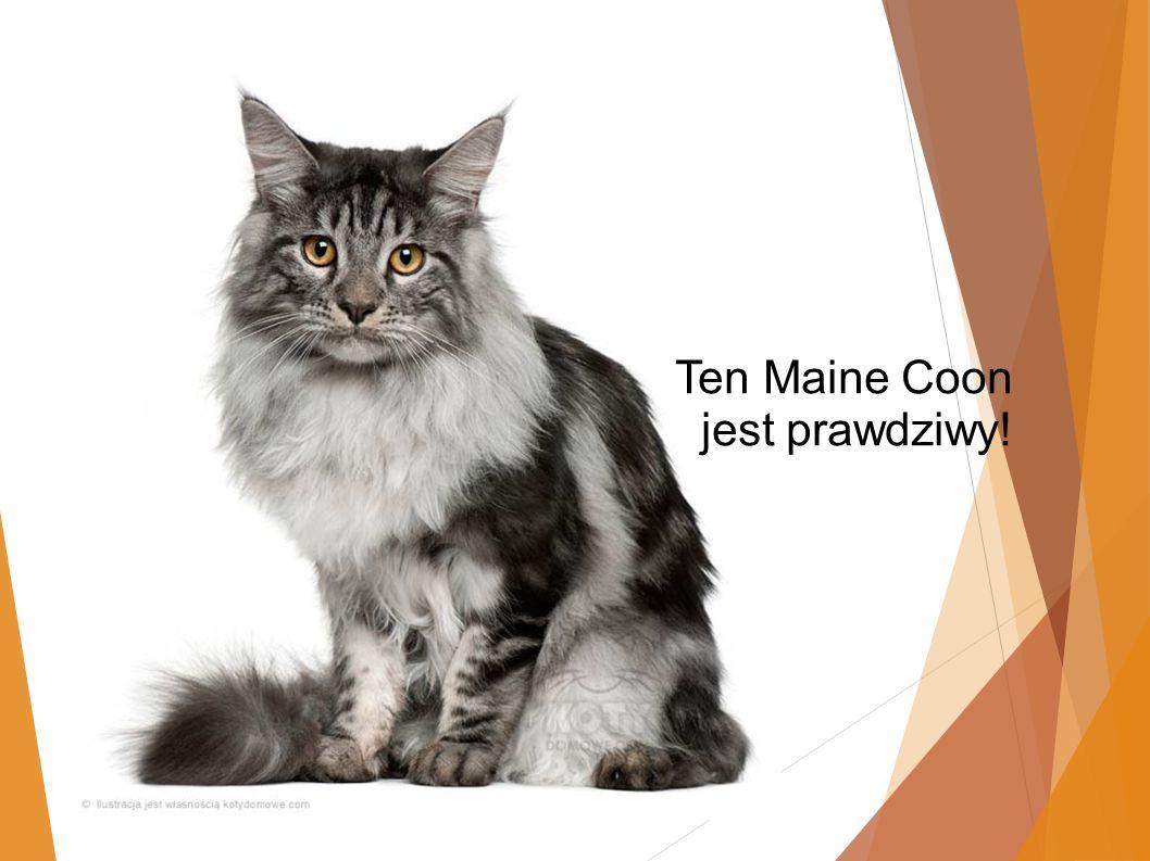 Ten Maine Coon jest prawdziwy!
