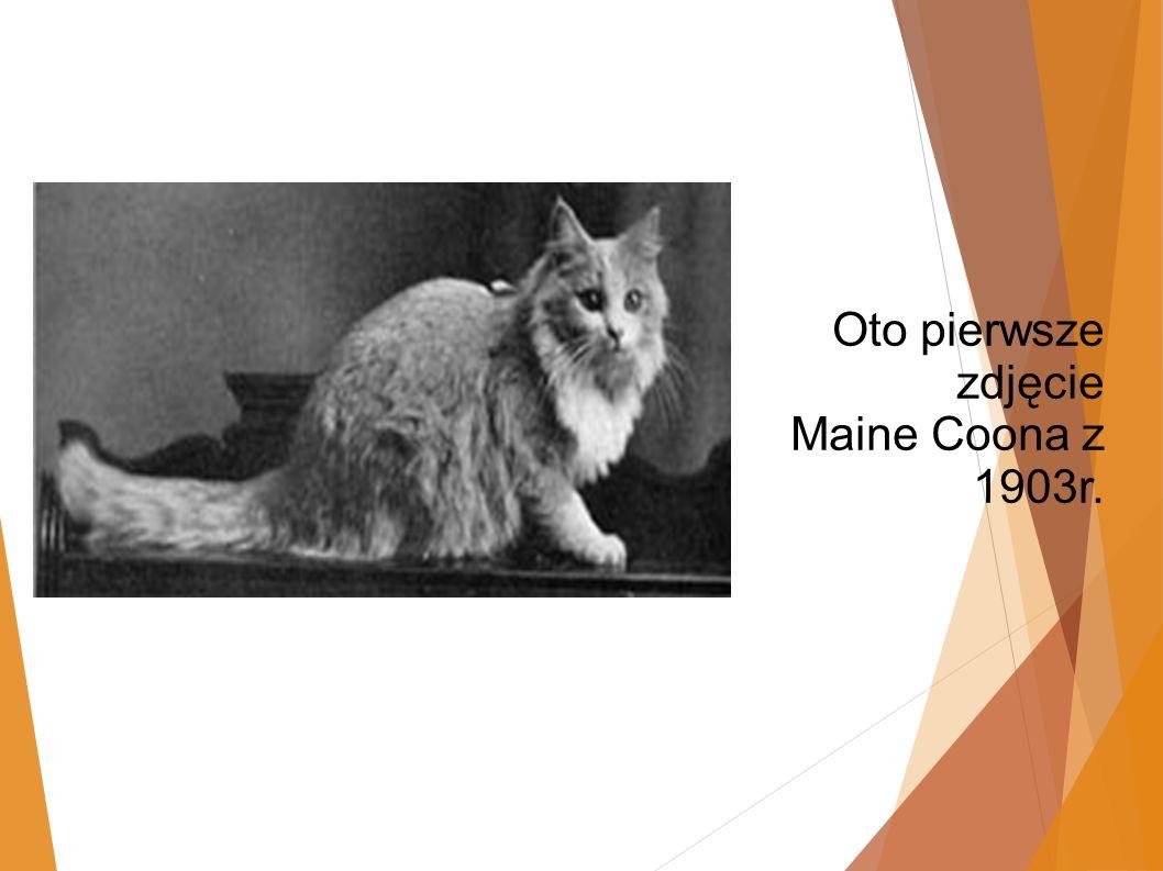 Oto pierwsze zdjęcie Maine Coona z 1903r.