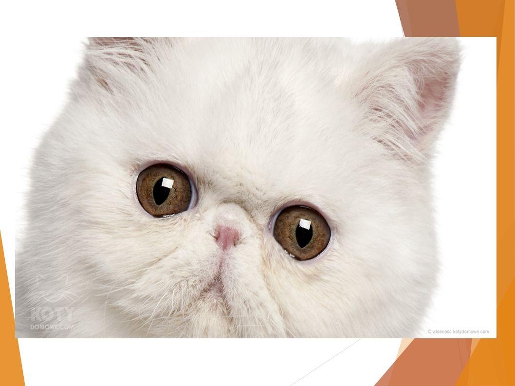 Kot domowy - dachowiec