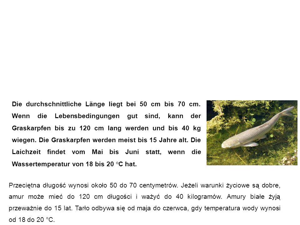 Graskarpfen (Grasfisch, weißer Amur, Amur) Amur biały Die durchschnittliche Länge liegt bei 50 cm bis 70 cm.