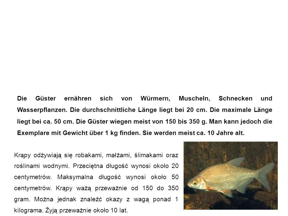 Güster (Blicke, Halbbrachsen, Rotplieten) Krąp Die Güster ernähren sich von Würmern, Muscheln, Schnecken und Wasserpflanzen.