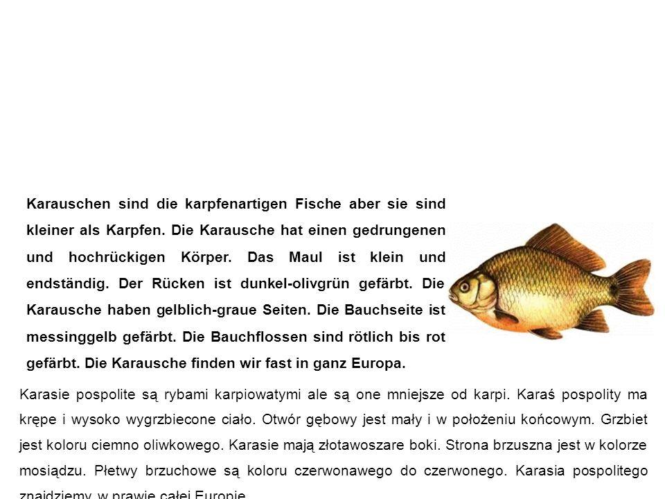 Karausche (Bauernkarpfen, Steinkarpfen, Moorkarpfen) karaś pospolity Karauschen sind die karpfenartigen Fische aber sie sind kleiner als Karpfen.