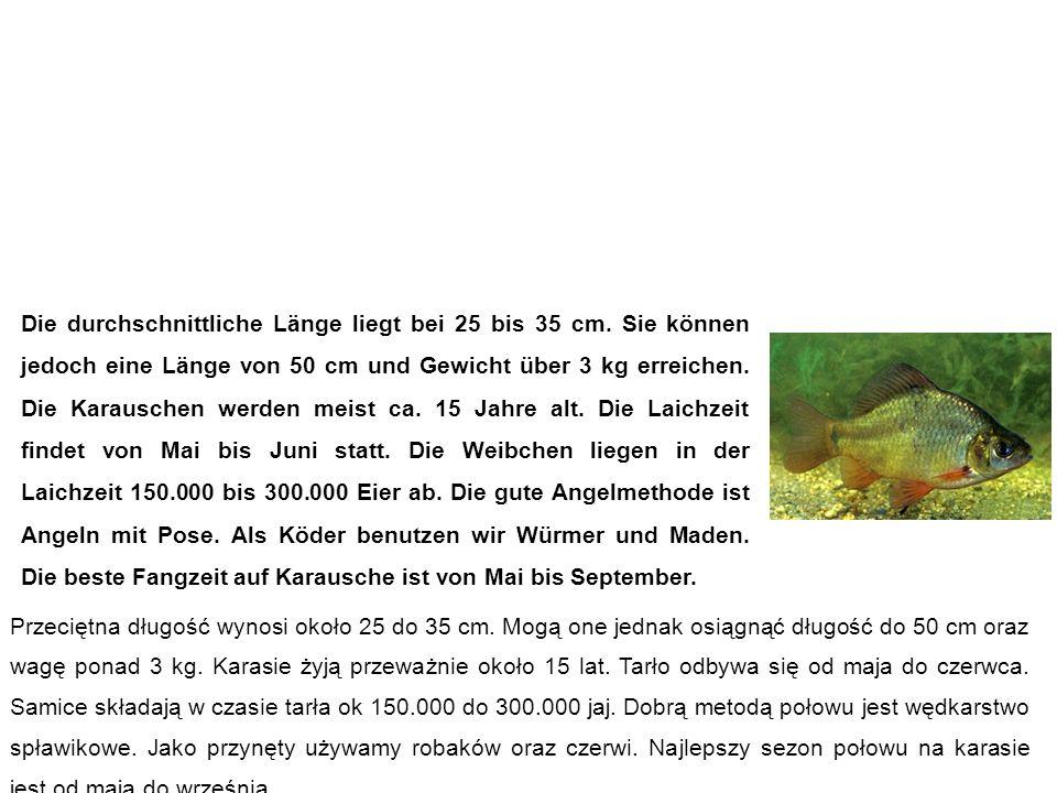 Karausche (Bauernkarpfen, Steinkarpfen, Moorkarpfen) karaś pospolity Die durchschnittliche Länge liegt bei 25 bis 35 cm.