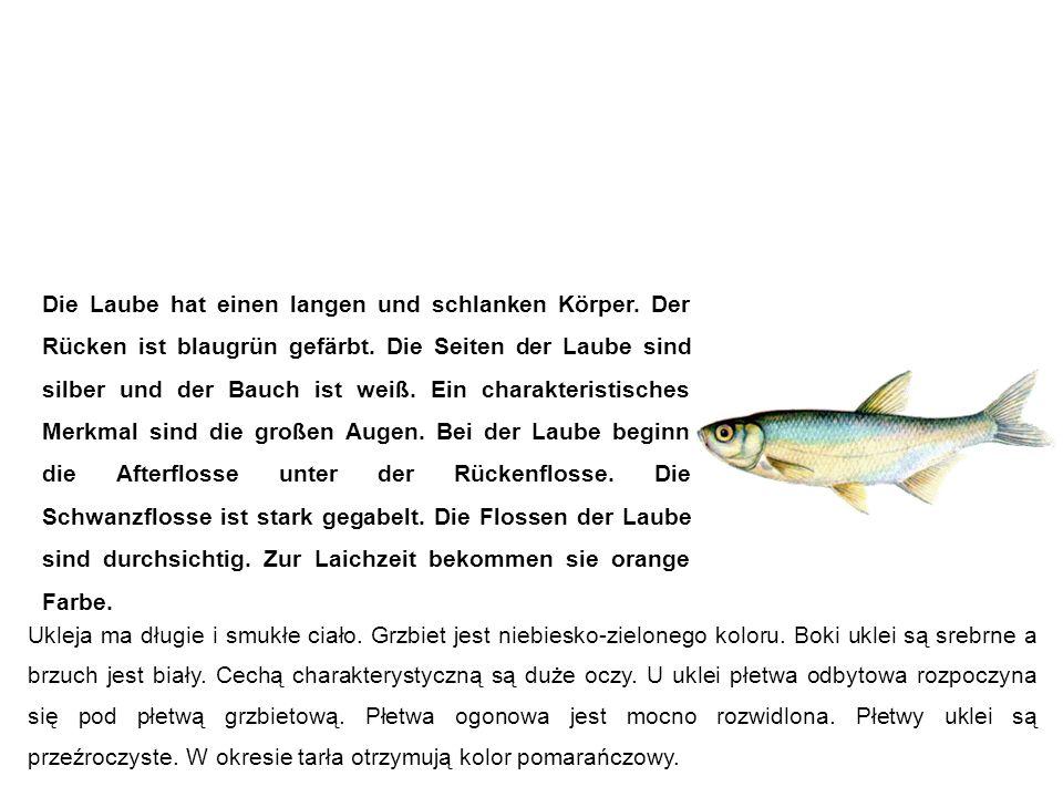 Laube (Ukelei, Blecke, Maiblecke, Alwe, Schuppenfisch) Ukleja Die Laube hat einen langen und schlanken Körper.