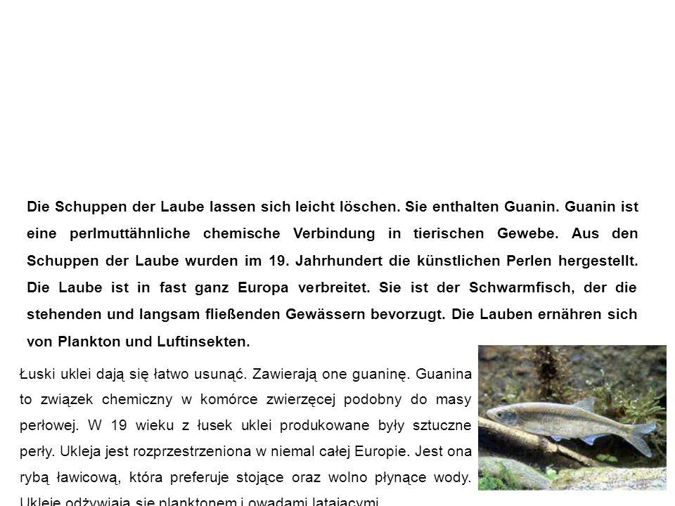 Laube (Ukelei, Blecke, Maiblecke, Alwe, Schuppenfisch) Ukleja Die Schuppen der Laube lassen sich leicht löschen.