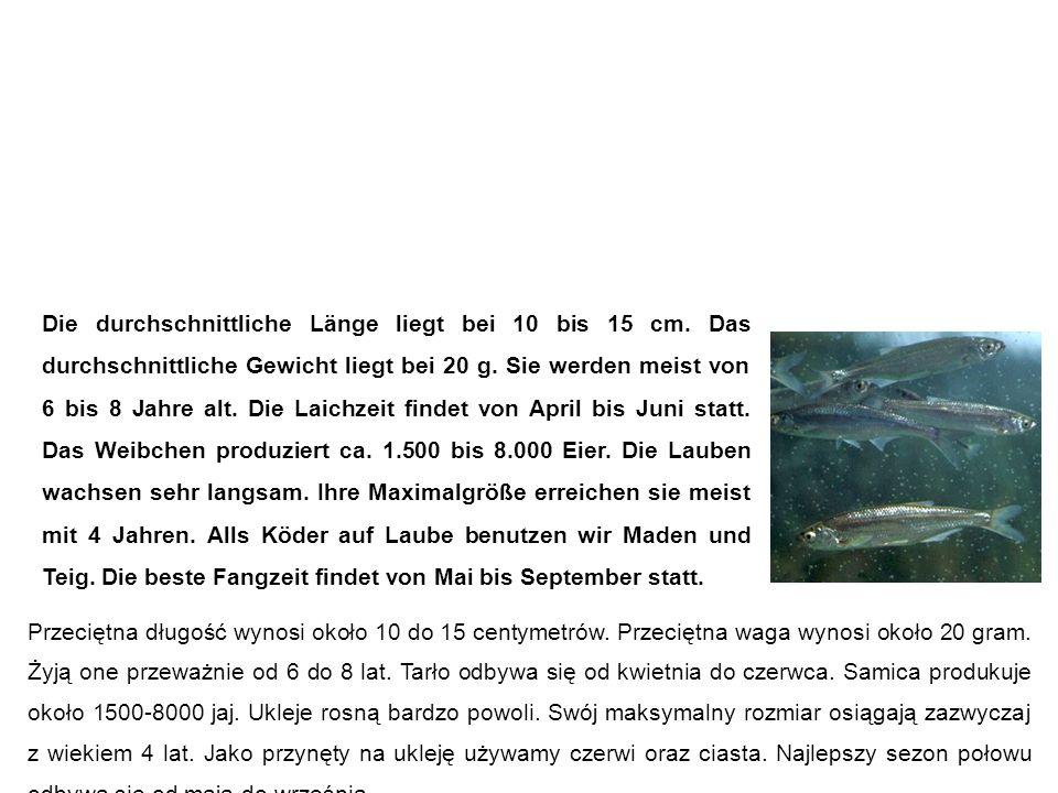 Laube (Ukelei, Blecke, Maiblecke, Alwe, Schuppenfisch) Ukleja Die durchschnittliche Länge liegt bei 10 bis 15 cm.
