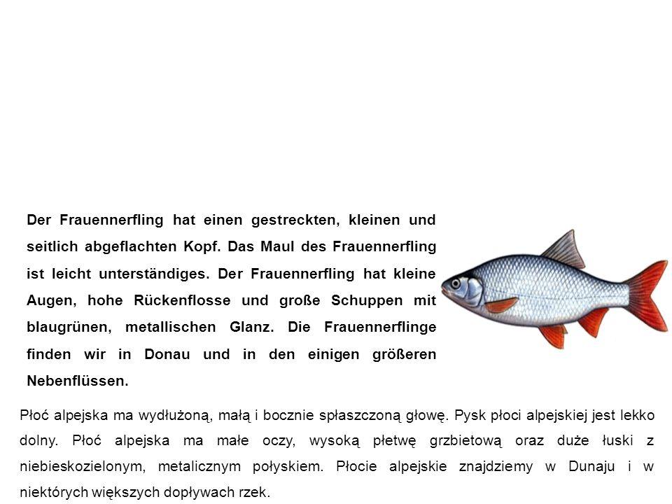 Frauennerfling (Donaunerfling, Frauenfisch) Płoć alpejska Der Frauennerfling hat einen gestreckten, kleinen und seitlich abgeflachten Kopf.