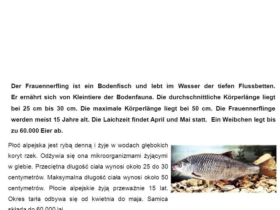 Frauennerfling (Donaunerfling, Frauenfisch) Płoć alpejska Der Frauennerfling ist ein Bodenfisch und lebt im Wasser der tiefen Flussbetten.