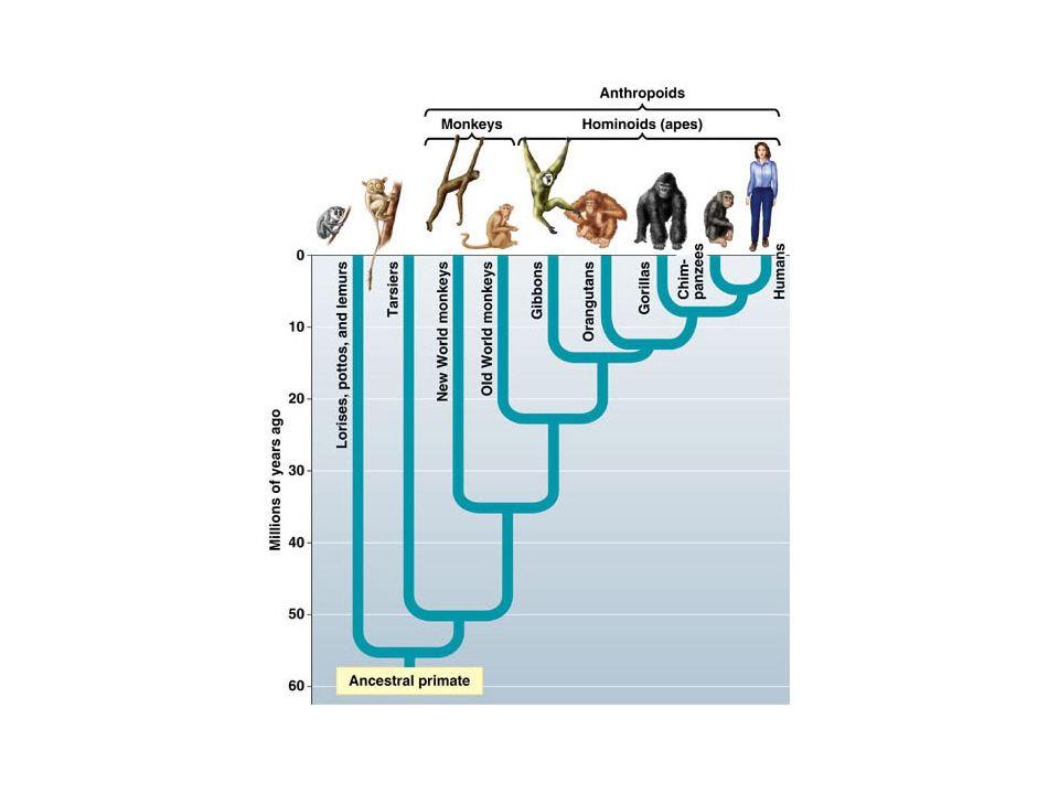 A oto i dowód rzeczowy: neandertalczycy mieli o około 20% większe oczodoły niż anatomicznie współcześni ludzie żyjący w tym samym środowisku.