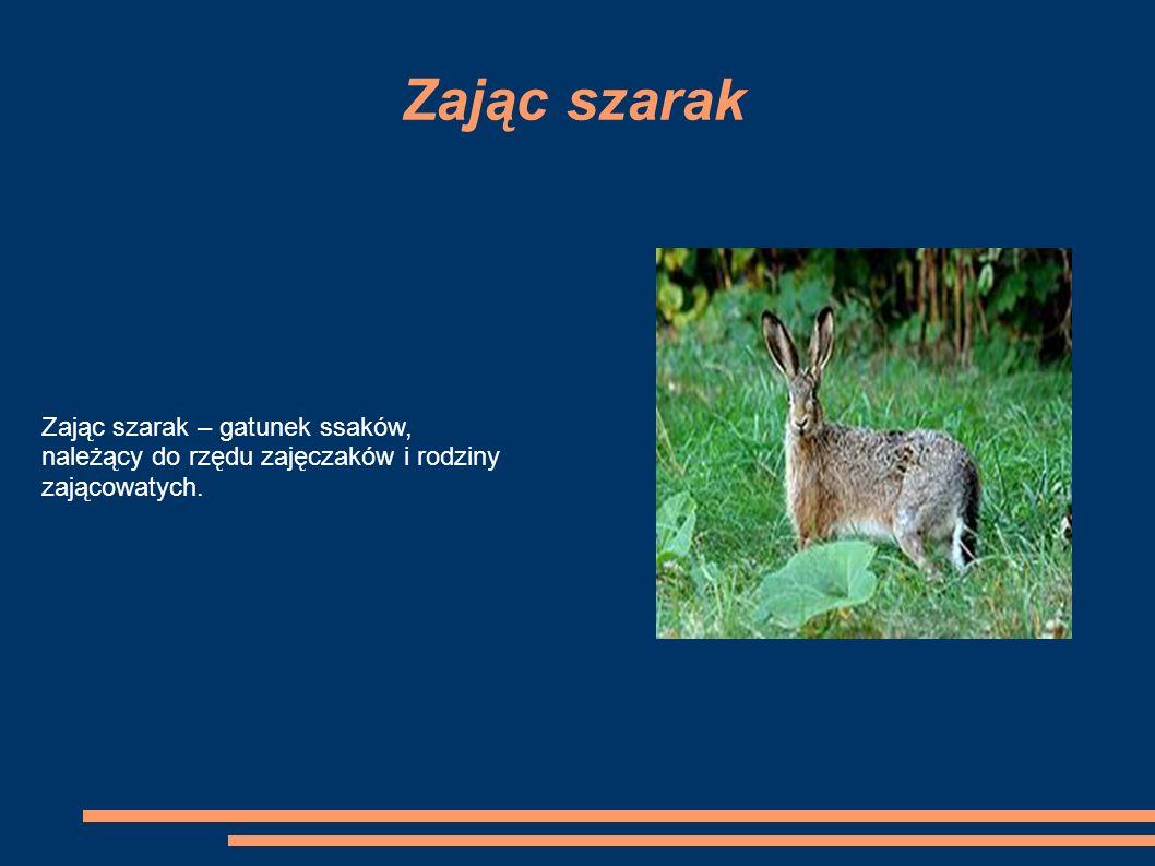 Zając szarak Zając szarak – gatunek ssaków, należący do rzędu zajęczaków i rodziny zającowatych.