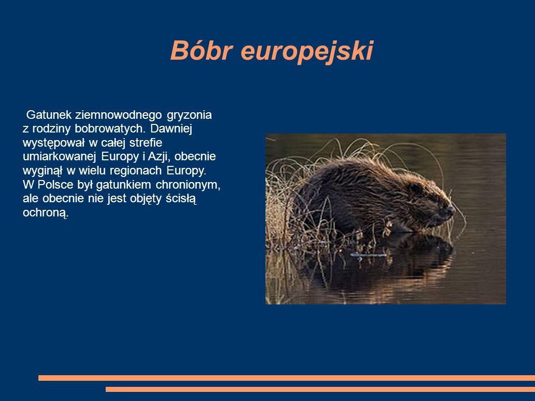 Bóbr europejski Gatunek ziemnowodnego gryzonia z rodziny bobrowatych.