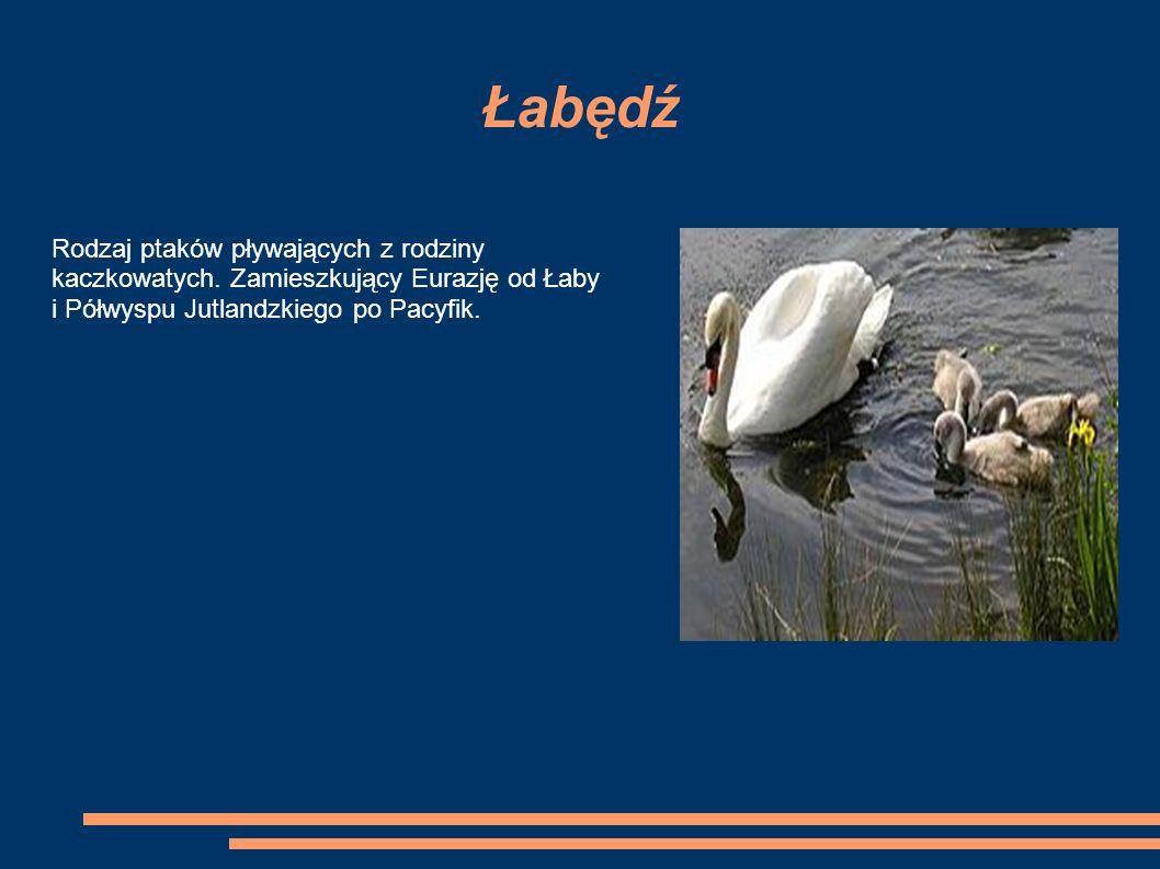 Łabędź Rodzaj ptaków pływających z rodziny kaczkowatych.