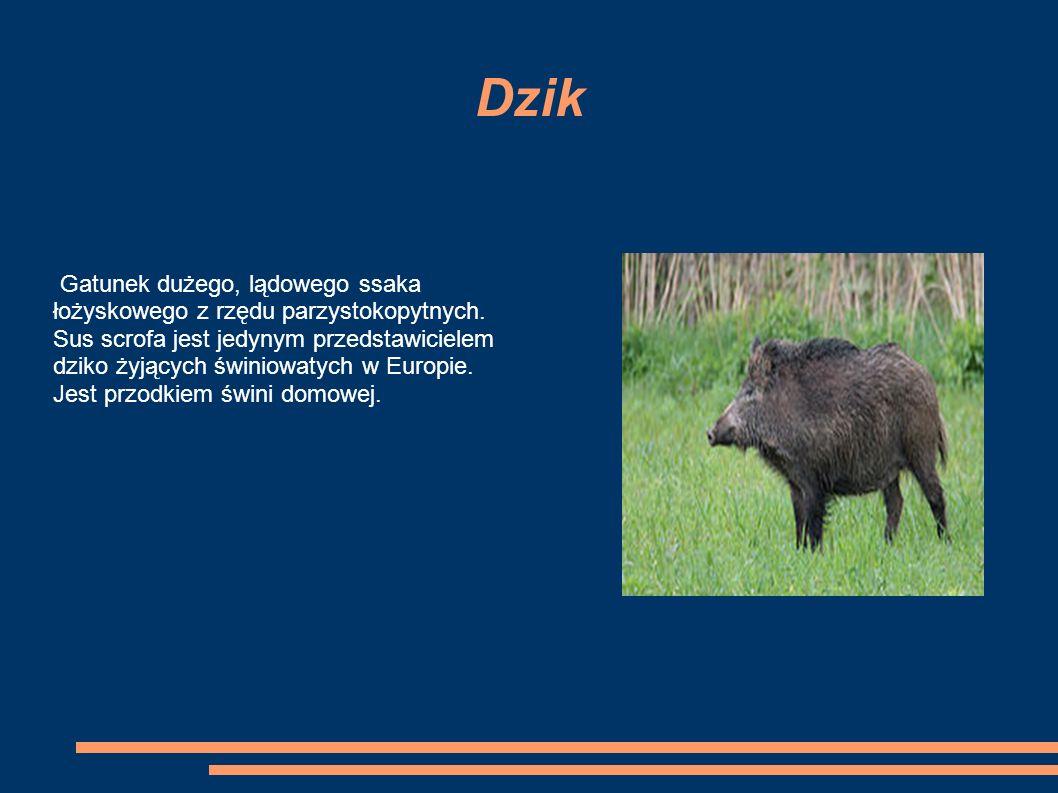 Dzik Gatunek dużego, lądowego ssaka łożyskowego z rzędu parzystokopytnych.