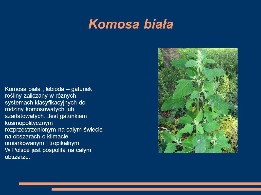 Komosa biała Komosa biała, lebioda – gatunek rośliny zaliczany w różnych systemach klasyfikacyjnych do rodziny komosowatych lub szarłatowatych.